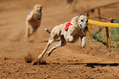 Greyhound During Race