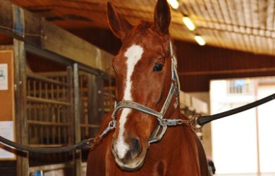Chestnut Horse in Stable