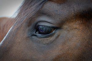 Bay Horse's Eye Close Up