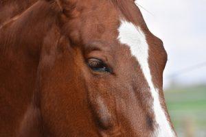 Chestnut Horse Close Up