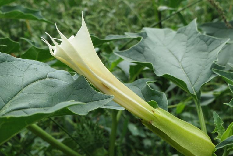 Jimson Weed Datura Stramonium