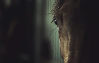 Close Up of Dark Brown Horse in Stables