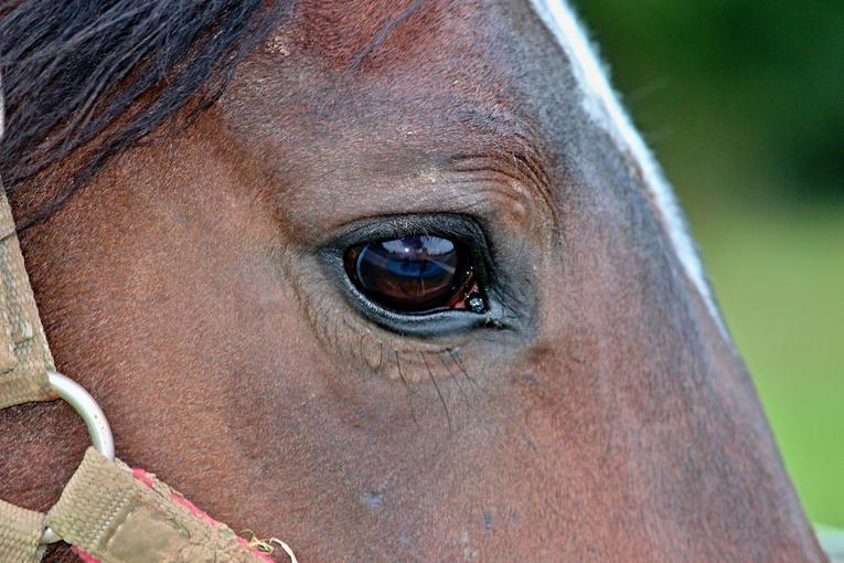 Horse Eye Profile