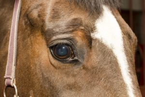 Brown Horse's Eye