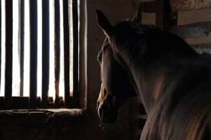 Dark Brown Horse in Stables