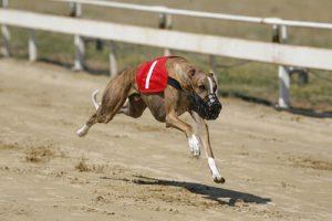Greyhound Number 1