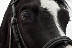 Black Horse and Bridle