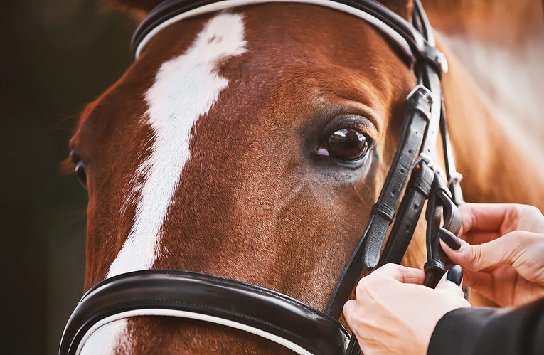 Horse Having Bridle Attached
