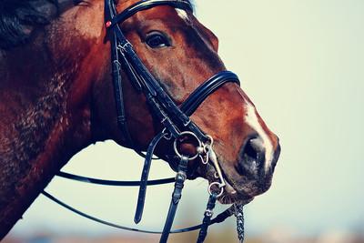 Portrait View of Bay Racehorse